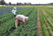 Брекзит удари и българските работници във ферми