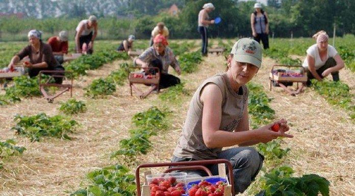 Испания дава €38 на ден за бране на ягоди, у нас – малко е