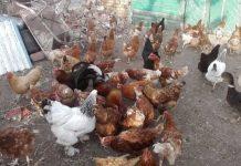 Поредната идиотия: Бабите на село не може да гледат по повече от 50 кокошки в дворовете си