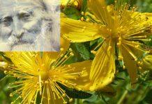 Жълт кантарион в зехтин: Легендарната рецепта на Петър Дънов