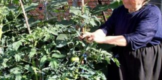 Идва ли чума по доматите? Ще тръгнат ли да ни вадят колците от дворовете